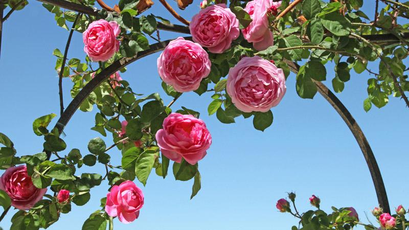 Bont Gartenbau Rosen und Blumen